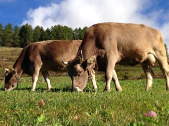 Cowsies