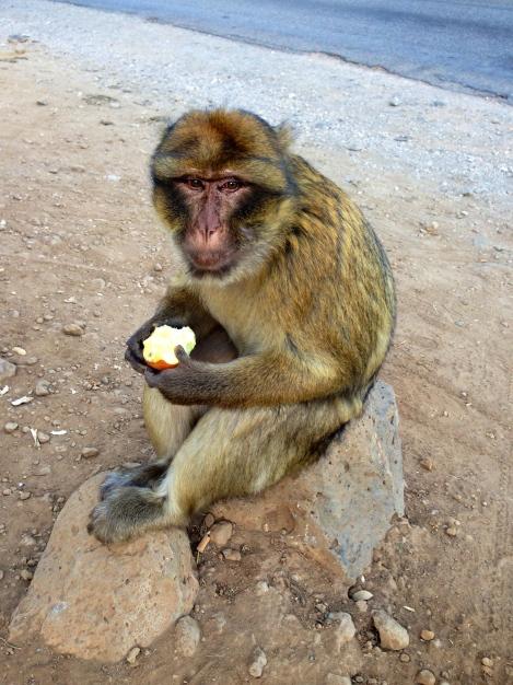 Barbary Apes Morocco