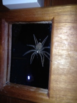 Spider as big as my hand with fingers outstretched. E came across it in the dark with a headlamp on the bathroom mirror. Eeeekkk!