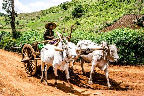 Oxcart Myanmar
