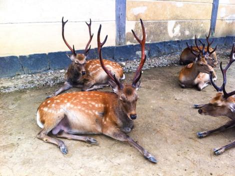 Group of deer in Nara