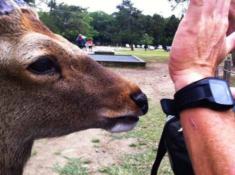 Big deer Nara